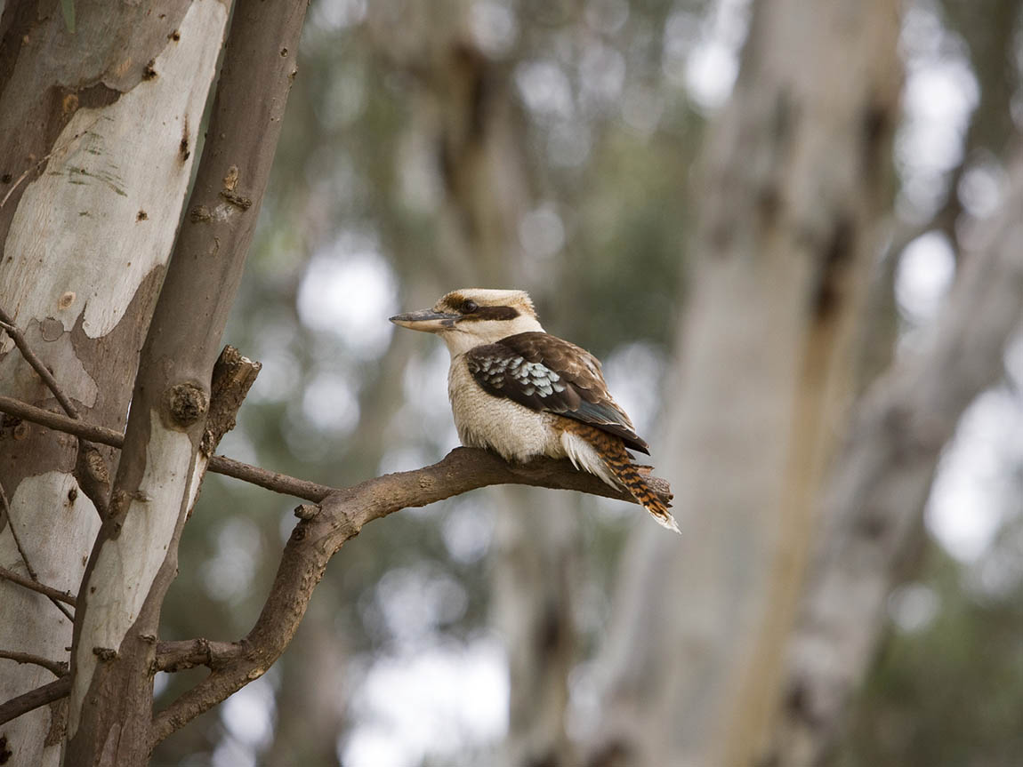 Kookaburra in Koondrook State Forest, The Murray, Victoria, Australia
